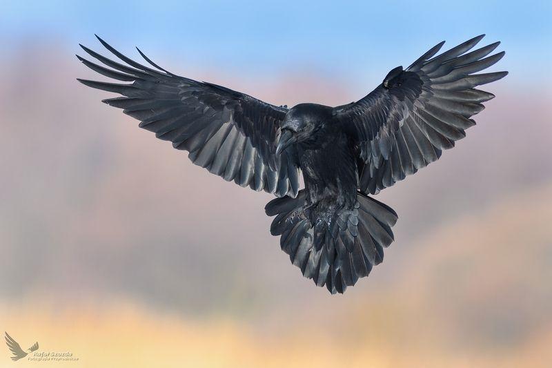 birds, nature, animals, wildlife, colors, meadow, flight, wings, nikon, nikkor, lens, sunlight, lubuskie, poland Kruk, Common Raven (Corvus corax) ... 2018rphoto preview