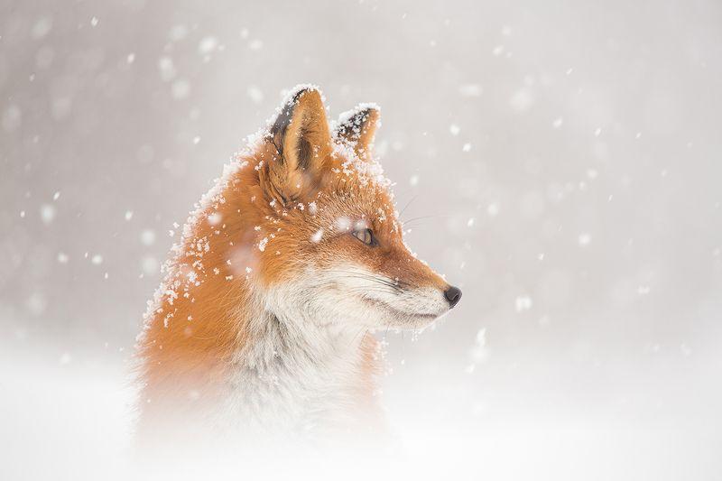 камчатка, зима, лиса, животные, природа, путешествие, фототур,  А снег идет…photo preview