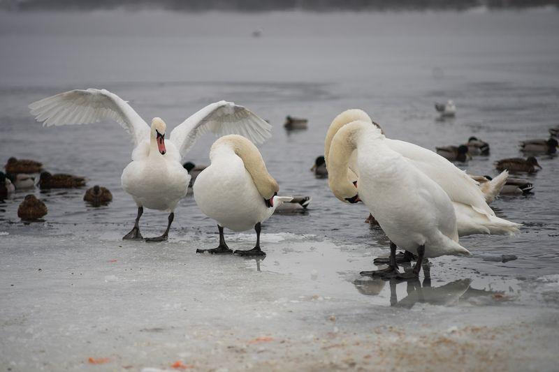 лебеди. зима, птицы, мороз, парк, сезон, днепр, юпитер37а Зима. минус 10 на дворе...photo preview
