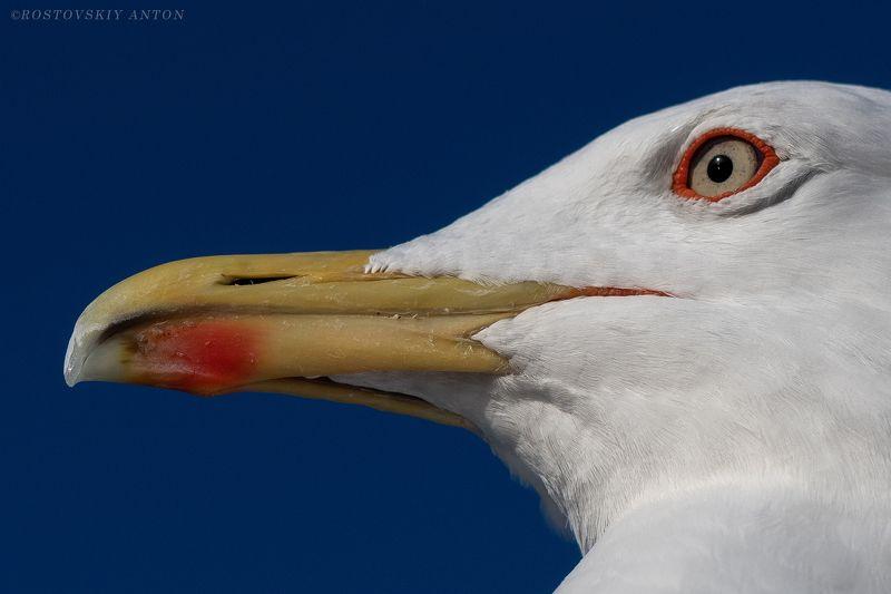 портрет, чайка, птица, фототур, дозорныйphoto preview
