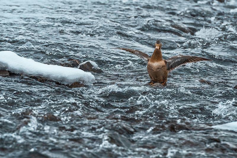 утки,зима,водопад Утиные будниphoto preview