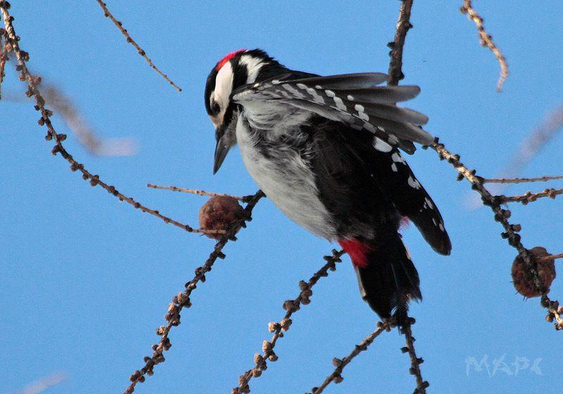 животные птицы большой пестрый дятел зима Большой пестрый дятелphoto preview