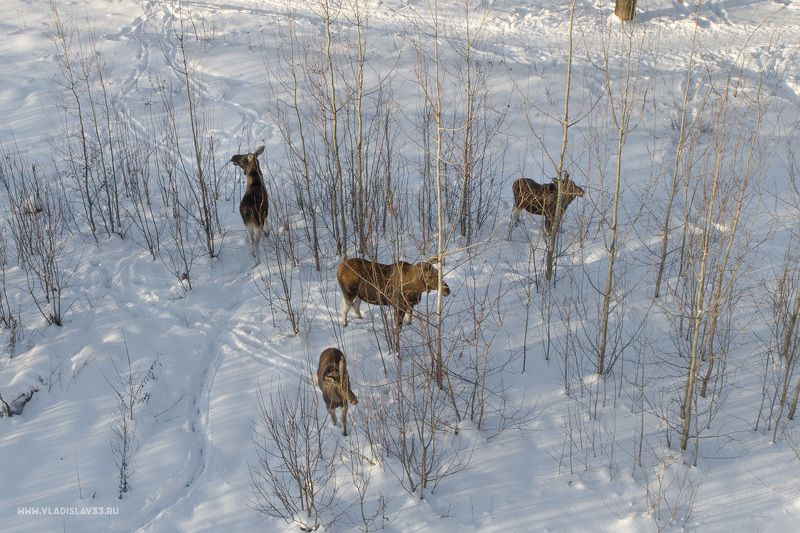 Семья лосей в одном из Владимирских парковphoto preview