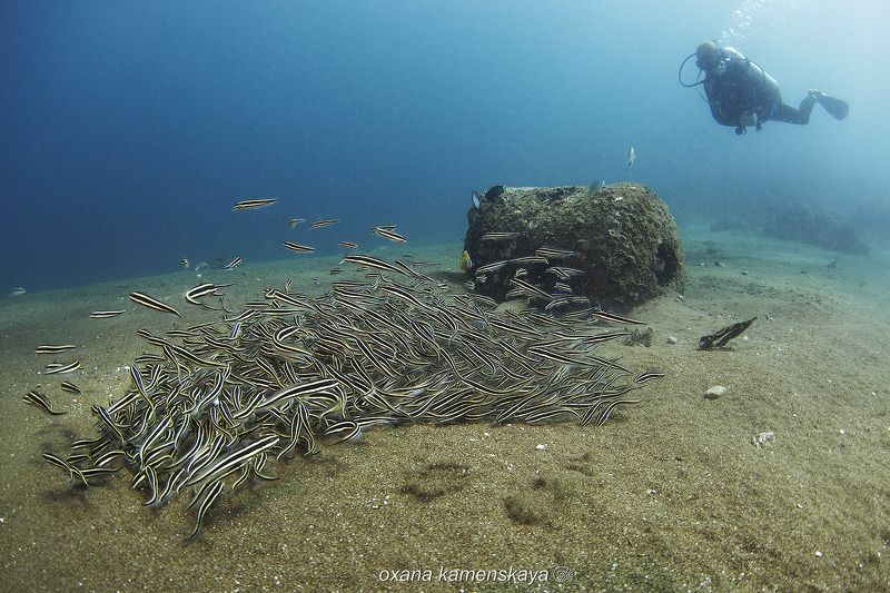 underwater phillipines blue deep diver schoolfish Кучкаphoto preview