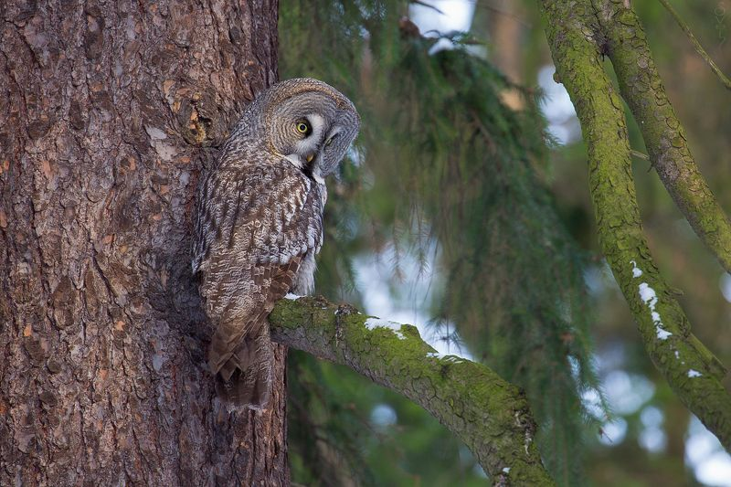 бородатая неясыть, сова, зима сова на дереве сиделаphoto preview
