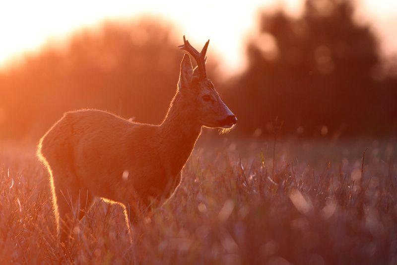 deer, roe deer, wildlife Roe deerphoto preview