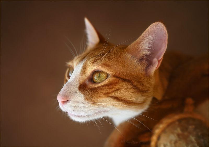 кошки, животные, портрет Золотцеphoto preview