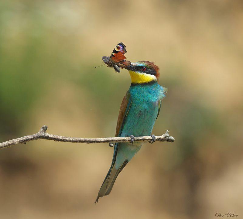 птицы, золотистая щурка Золотистые щурки. Птицы, как людиphoto preview