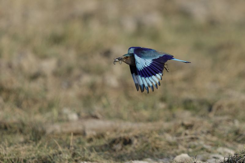 5d4, canon, indian roller, flight, Roller with toadphoto preview
