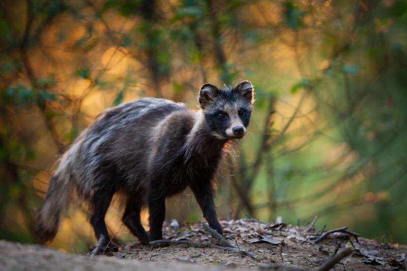 jenot, raccoon dog, wildlife Raccoon dogphoto preview