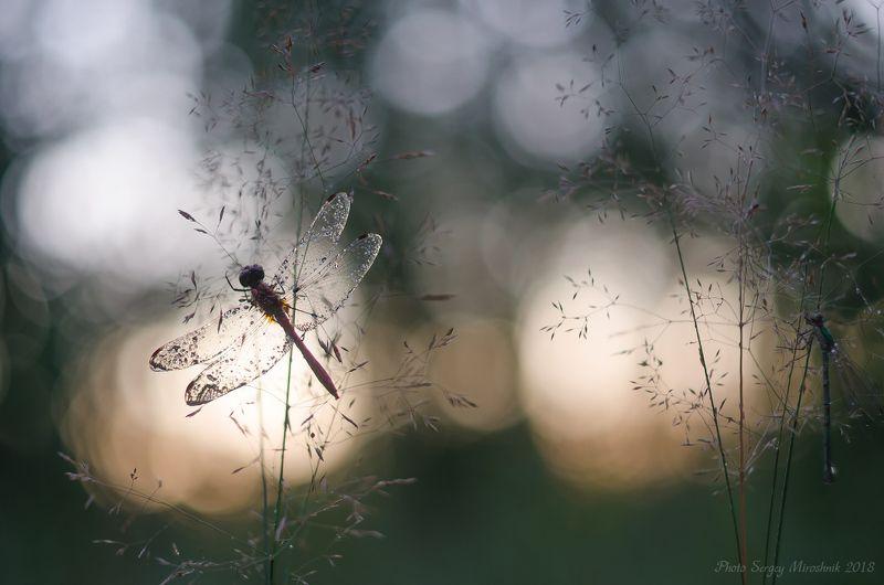 макро, стрекоза, лето, август, красиво, растение, насекомое, вечер, закат, лес, украина Прозрачностьphoto preview