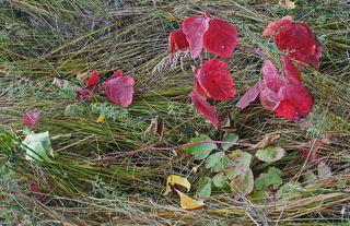 Осень окрасила листья ежевики.