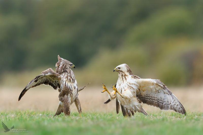 birds, nature, animals, wildlife, colors, meadow, fight, flight, nikon, nikkor, lens, lubuskie, poland, raptors Myszołowy, Common Buzzard (Buteo buteo) ...photo preview