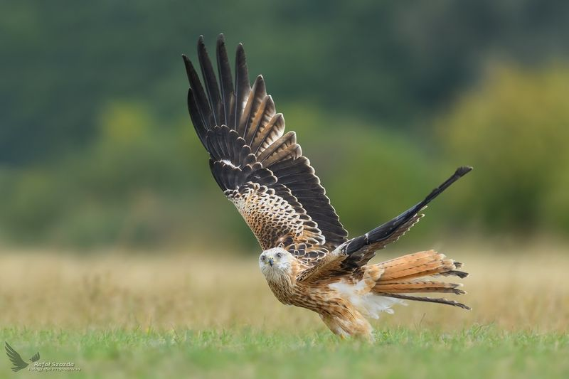 red kite, birds, nature, animals, flight, meadow, colors, wings, nikon, nikkor, lens, lubuskie, poland Kania Ruda, Red Kite (Milvus milvus) ...photo preview
