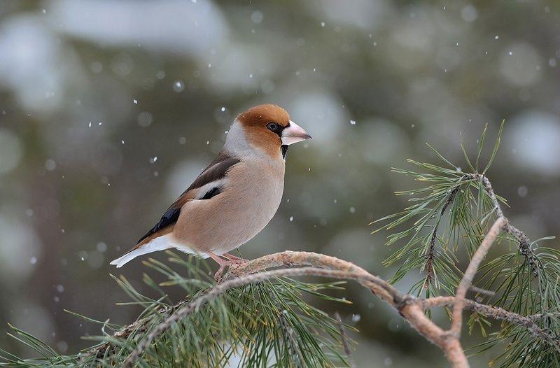 дубонос,самец,сосна,снег,зима Февральphoto preview