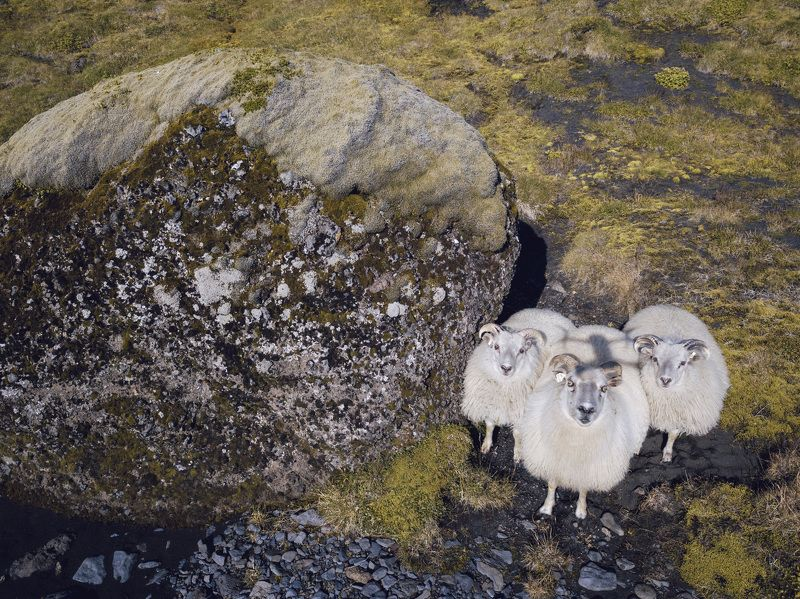 iceland, sheep, nature, animal Sheep Happensphoto preview