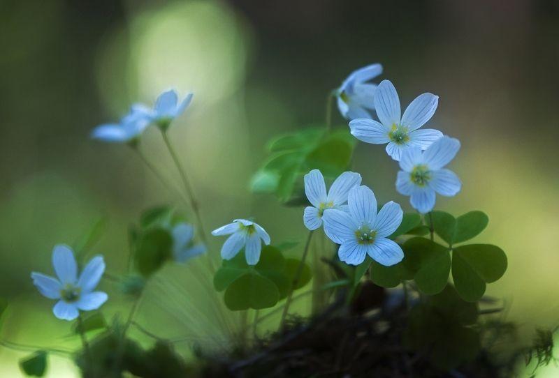 макро,лес,кислица,заячья капуста,весна,природа заячья капуста (кислица)...photo preview