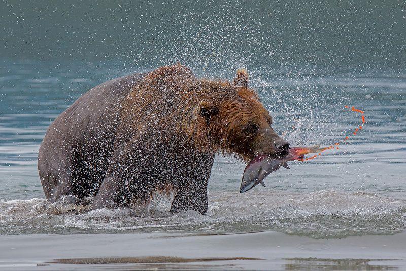 камчатка, медведь, лето, животные, природа, путешествие, фототур,  Дни изобилияphoto preview