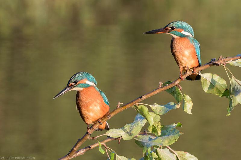 птицы, природа, зимородок Рыболовы.photo preview