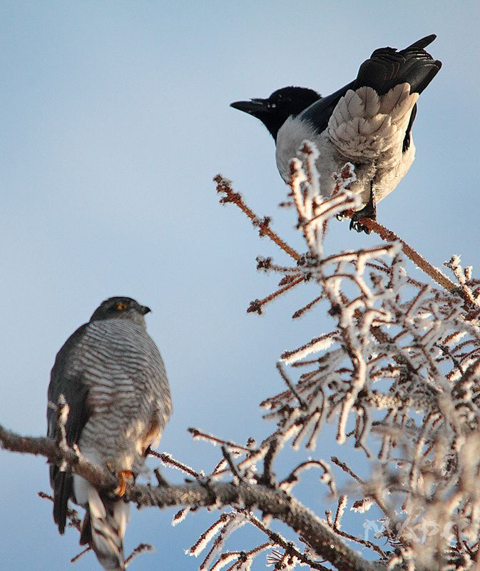 животные птицы ястреб перепелятник  ворона зима двоеphoto preview