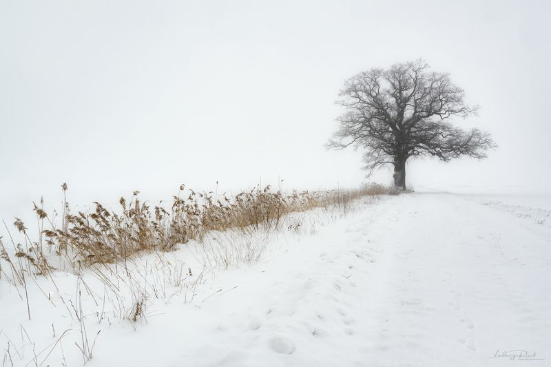 bare, bare oak tree, branches, fog, foggy, foot steps, grass, lonely, ludwig riml natural light photography, ludwig riml photography, mist, misty, monochrome, nature, oak, oak tree, outdoor, pasture, reed, road, snow, snowfall, tracks, tree branches, tree Oak in Fogphoto preview