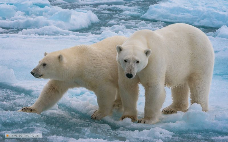 wildlife, dream, svalbard, polar bear, ice, wild Мечта анималистаphoto preview
