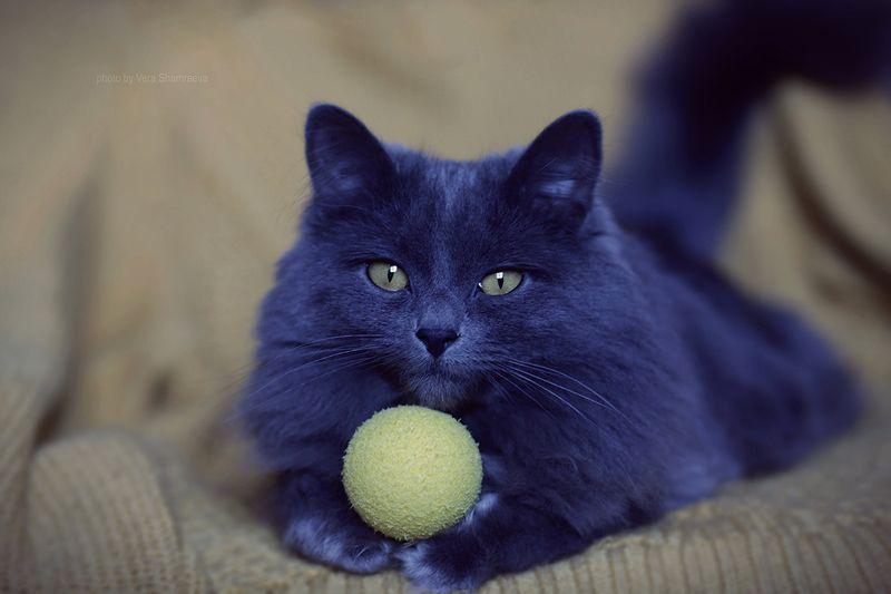 кошка британская длинношерстная Желтый деньphoto preview