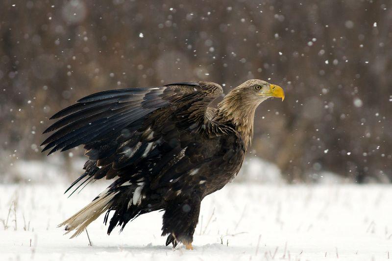 eagle, bielik, orzeł, wildlife, bird, snow, winter White tailed eaglephoto preview