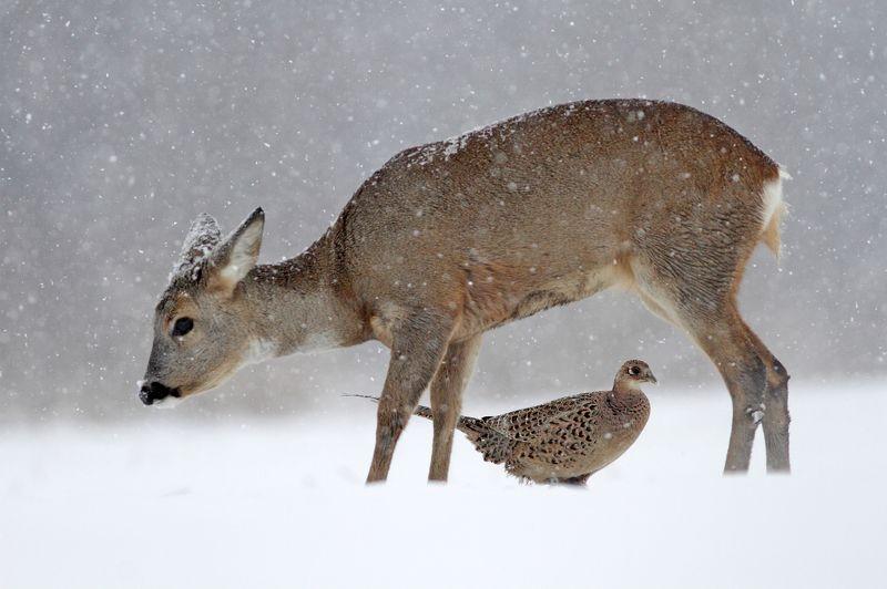 pheasant, deer, roe deer, winter ,snow, blizzard Roe deer and pheasantphoto preview