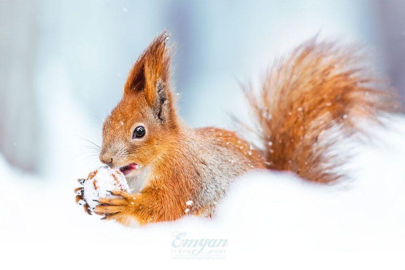 белка, животные, портрет, зима, снег, сугроб, природа, nature, squirrel, canon, red squirrel, animals, portrait Зимний завтракphoto preview