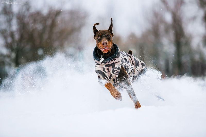 собака, природа, зима, доберман, снег, движение, драйв, спорт Сквозь снегаphoto preview