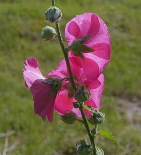Мальва или шток роза.
