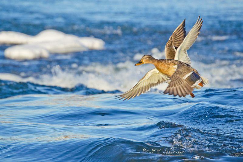 птицы, утки, кряквы, крылья Крыльяphoto preview