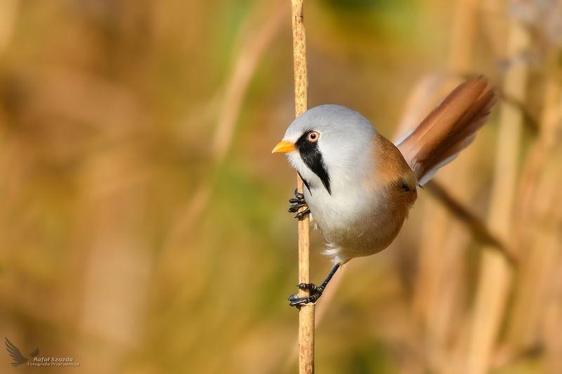 birds, nature, animals, wildlife, colors, nikon, nikkor, lens, flight, sunlight, lubuskie, poland Wąsatka, Bearded Parrotbill (Panurus biarmicus) ...photo preview