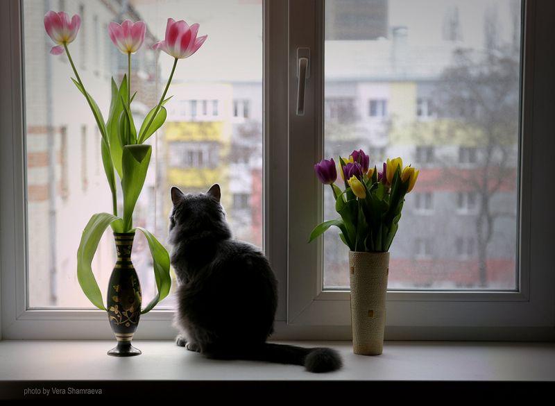 тюльпаны, кошка , окно 8 мартаphoto preview