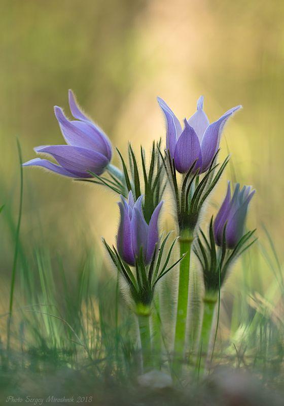 макро, цветы, первоцвет, сон трава, весна, апрель, лес, украина Сон - траваphoto preview