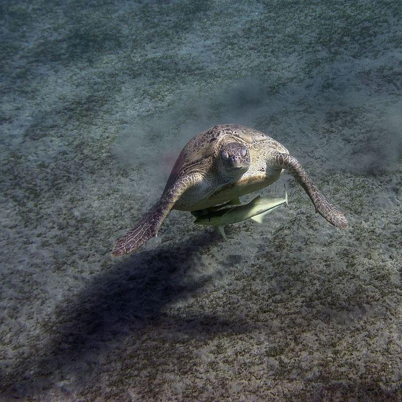 Черепахи Абу Дабаб, Марса Алам, Египет - 2photo preview