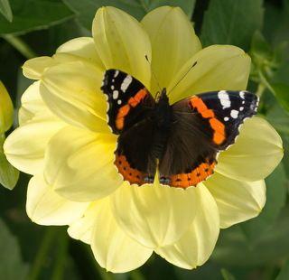 Бабочка адмирал на цветке гергин.
