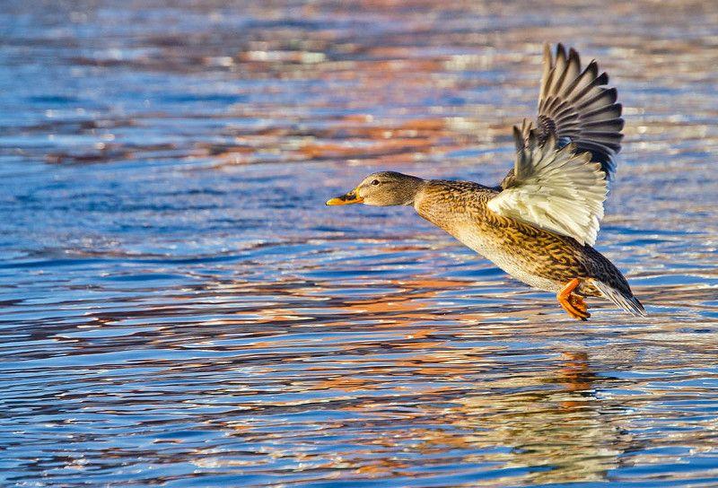 утка, кряква, река, упа Над речной акварельюphoto preview