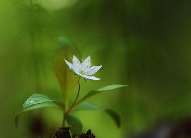 макро,седмичник европейский,лес,весна,природа седмичник...photo preview