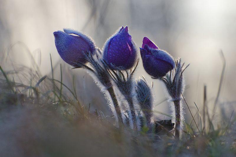 прострел, сон - трава, апрель, весна В юном месяце апрелеphoto preview