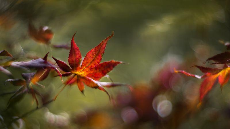 природа, макро, осень, листья клена, боке Погружениеphoto preview