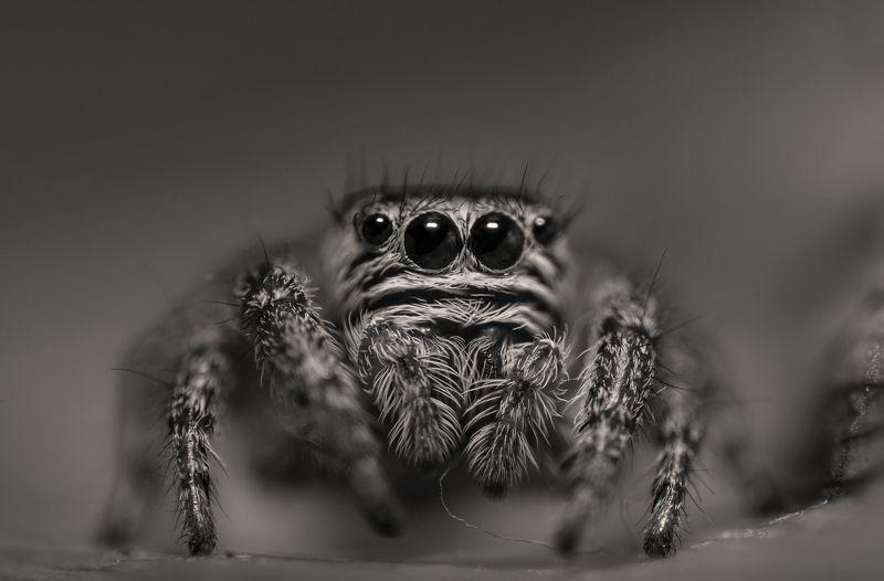 макро, природа, чб,паук, глаза, хищник, охотник, дикая природа По ту соронуphoto preview