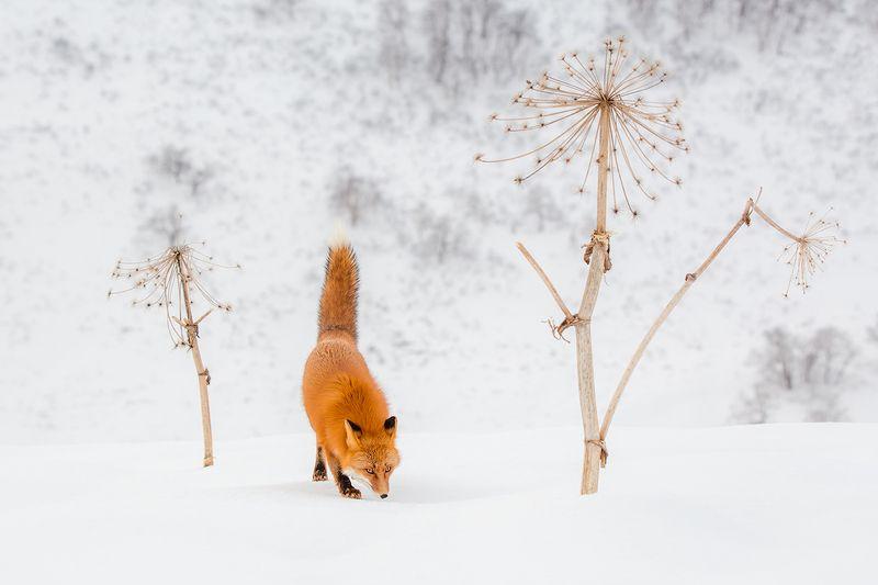 камчатка, лиса, зима, животные, природа, путешествие, фототур,  Хвост трубойphoto preview