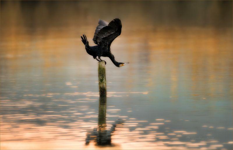 баклан, вода, закат, фауна О гибкостиphoto preview