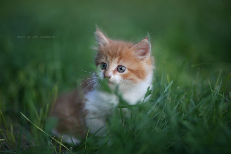 котенок лето трава Маленький котphoto preview