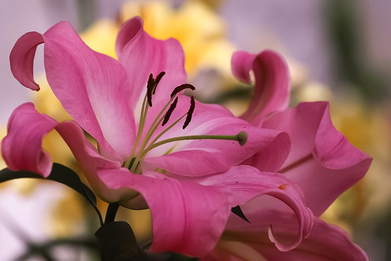 лилии, цветы, лето, summer, flowers, lily Lilyphoto preview