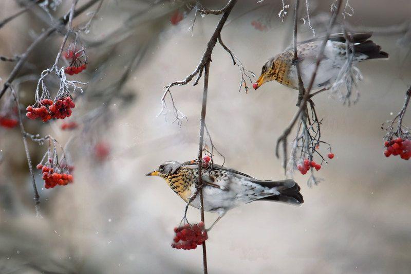 птицы, зима, дрозд, дрозд-рябинник Дрозд рябинникphoto preview