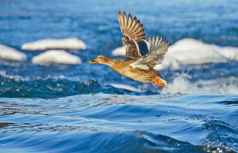 утка, кряква, птица, полёт Полёт кряковой. Январьphoto preview