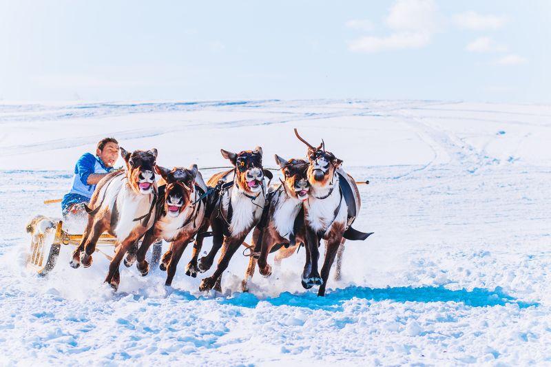 ямал, салехард , гонки ,ямал ,янао, олени, природа ,полярный урал \